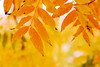 Yellow Shower (olvwu | 莫方) Tags: winter usa macro yellow ga georgia leaf 100mm savannah yellowleaf jungpangwu oliverwu oliverjpwu flickrexplore explored canonef100mmmacrof28usmlens olvwu jungpang 莫方 吳榮邦