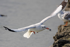 Brown-headed Gull (aweilee) Tags: brownheadedgull