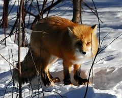 Renard roux (Rock Arsenault) Tags: faune renard 10faves photoquebec 100vue