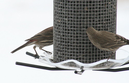 house finch with seed 4