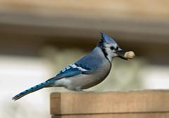 Blue Jays Got Nuts... (martytdx) Tags: home birds backyard jay nj bluejay feeders cyanocittacristata haddonfield cyanocitta corvidae animalkingdomelite january2008