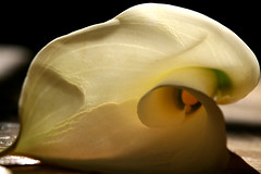 (aghhhitssarah) Tags: flower lily callalily