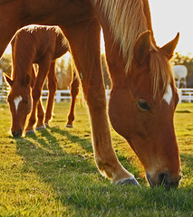 Beautiful Horses Grazing At Sunset (mikenpo) Tags: sunset red horses white green gold blond grazing galope goldenglobe mywinners abigfave perfectangle platinumphoto anawesomeshot aplusphoto ultimateshot superbmasterpiece diamondclassphotographer flickrdiamond blueribbbonwinner excellentphotographerawards theunforgetablepictures theunforgettablepictures platinumheartaward excapture theperfectphotographer overtheshot
