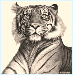 'Tiger Rising' Fine Art Pencil Drawings www.drawntonature.co.uk (kjhayler) Tags: pictures portrait art pencil portraits print sumatra image drawing wildlife tiger picture drawings images naturalhistory bigcat jungle tigers prints wildcat tigerprint bigcats tigress sumatran animalart wildcats wildanimals animalprints bengaltiger wildlifeimages drawingpictures animalpictures wildlifeart indochinese animalscats tigereyes wildlifephotography wildlifephotos bengaltigers animalphotos animaldrawings wildlifeartists naturepictures tigerprints tigerportrait wildlifeportraits wildpictures phototiger animalspictures wildlifetiger picturescats tigerphoto tigerdrawing openedition tigerart tigerphotos wildlifeartist wildlifedrawings drawingphotographs kevinhayler animalstigers wildlifetigers tigerpictures tigerspictures tigerimage tigerimages photostigers picturestigers portraittiger careforthewild imagestiger picturetiger imagetiger tigerportraits bigcatpictures