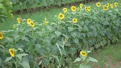 Sun-flowering (Abhijeet Kini) Tags: holiday weekend roadtrip maharashtra marathi kolhapur
