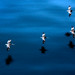 Pelicans, California Coast by secondcareer
