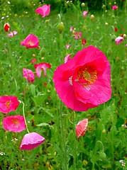 All My Children! (Baab1) Tags: pink flowers children maryland poppies springtime dlux smorgasbord southernmaryland calvertcountymaryland abigfave leicadlux3 anawesomeshot ysplix goldstaraward huntingtownmaryland spiritofphotography qualitypixels awesomeblossoms