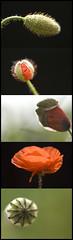 La vie d'un coquelicot (nathaliehupin) Tags: red flower fleur rouge nikon poppy coquelicot macroflower nikond200 photographebruxelles nathaliehupin photographeluxembourg photographehainaut photographenamur photographeliege photographemons photographebelgique wwwnathaliehupinbe wwwnathaliehupingraphismebe