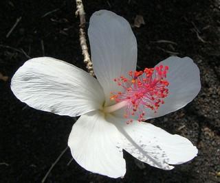 Koki'o ke'oke'o (Hibiscus waimeae) at Ho'omaluhia under the Ko'olau Range, O'ahu, Hawai'i, USA