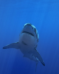 Approach angle (ScottS101) Tags: beautiful mexico shark pacific wildlife fear jaws imagination guadalupe predator whiteshark irrational primordial carcharodoncarcharias guadalupeisland