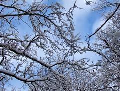 E: Snowy branches. N: Sndekte greiner (Charlotte Synnve) Tags: snow norway bluesky snowybranches tretop