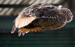 Bengal Eagle Owl (Graeme Webb) Tags: park bird flying wildlife flight owl bengaleagleowl