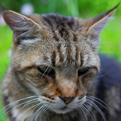 """Bobby """"Squared"""" (Just George 2) Tags: portrait cat feline chat dof bokeh tabby kitty greeneyes gato kitteh bobby katze gatto gs canonef2470mmf28lusm kedi matou eartufts canoneos5dmarkii tuftedears"""