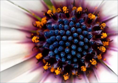 five daisies [nuclear]: 5/5