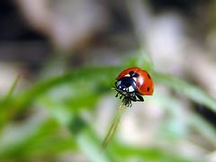 Bug (imagohun) Tags: hungary f828 2007 felsőcsatár