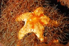 Starfish on Polyps (ScottS101) Tags: coral indonesia starfish reef allrightsreserved komodo polyps cnidaria copyrightscottsansenbach2008