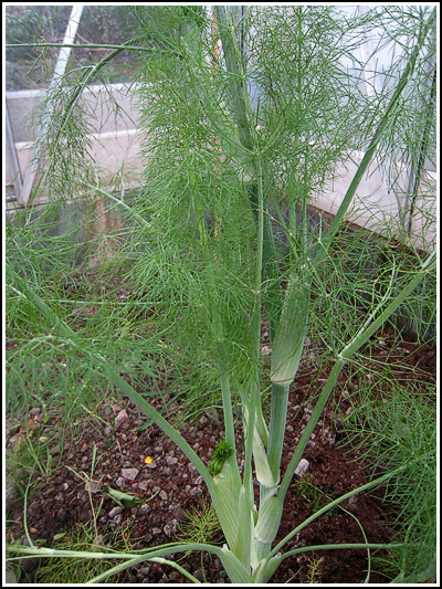 fennel copy