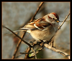 Tree Sparrow (nature55) Tags: autumn cold bird nature outdoors wildlife aves sparrow treesparrow specanimal nature55 abigfave avianexcellence magicdoneky 384explorepages