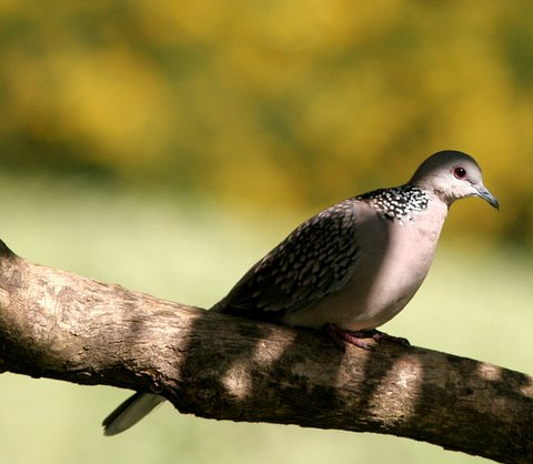 spotted dove lalbagh anush arun jaimon krish mahesh 011207
