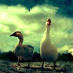 Ugly Duck and The Cool One (madhorse5) Tags: naturaleza color bird nature birds animals mexico flickr fb ducks pato artisticexpression sanluispotos mywinners flickrdiamond