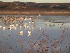 DSCN0735.JPG (larcumo) Tags: birding cranes snowgeese