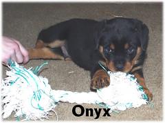 o3 (muslovedogs) Tags: dogs puppy rottweiler teaara zeusoffspring