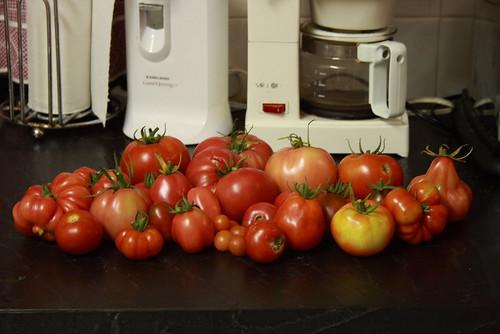 tomato harvest 001
