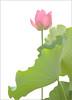 Lotus Flower - IMGP7760-buzz Pink Lotus Flower