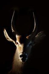 Waterbuck trophy (hvhe1) Tags: africa nature animal southafrica bravo wildlife antilope onblack waterbuck interestingness6 magicdonkey specanimal hvhe1 hennievanheerden diamondclassphotographer flickrdiamond
