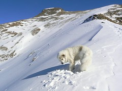 Chaiserstuel 362 (Shepherd & his Hot Dogs) Tags: schnee panorama snow mountains alps dogs schweiz switzerland landscapes hiking spuren footprints berge alpine alpen snowshoes hunde bergwandern gipfel summits schneeschuhe schonegg urirotstock bannalp pyreneanmountaindogs mywinners pyrenischeberghunde shepherdhishotdogs chaiserstuel gnneniyisithebestofday oberspis