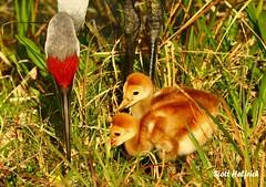 Lake Woodruff 3-17-08 1588 (Nature Photos by Scott) Tags: birds florida crane wildlife birding sandhillcranes