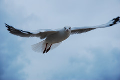 Grace and beauty (Nikonsnapper) Tags: sky eye looking searchthebest seagull gull sydney gliding dapa nikond80 avision diamondclassphotographer flickrdiamond australia2008 theloveshack project3662008april nikonsnapper