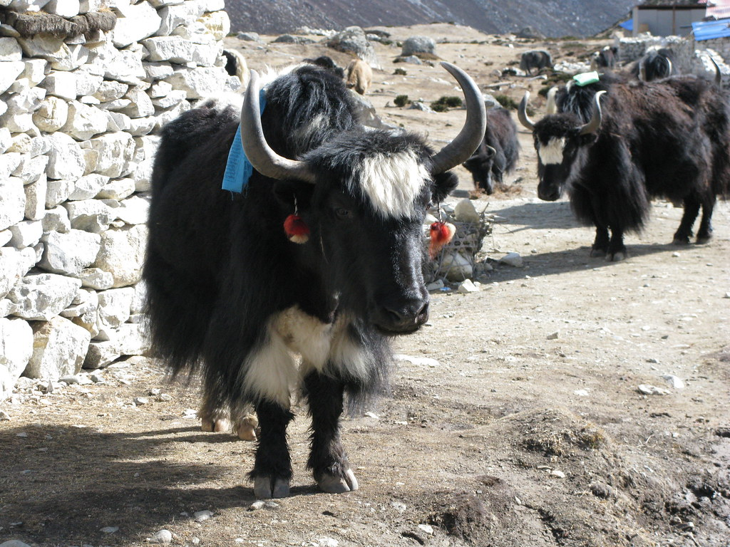Yak with ear rings by James C Farmer, on Flickr