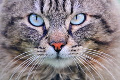 Cat with turquoise eyes (Tambako the Jaguar) Tags: portrait pet france beautiful face closeup cat furry nikon feline looking close head blueeyes kitty fluffy alsace hero winner staring walbach felid d300 supershot impressedbeauty turquois