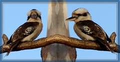 Kookaburras' portrait:  full face and half face. (в фас и профиль)