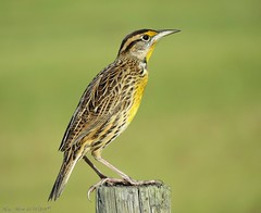 The Troubadour (Gary Helm) Tags: easternmeadowlark bird birds wings fly flight feathers post osceolacounty florida wildife outside nature outdoors ghelm4747 garyhelm image photograph joeoverstreetroad grasslands farms