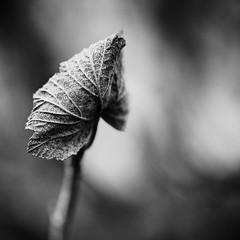 Feuille d'hiver. (steph20_2) Tags: feuille panasonic lumix gh3 m43 45mm monochrome monochrom hiver winter macro closeup noir noiretblanc ngc blanc black bw white skanchelli carré square leaf