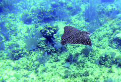 Spotted eagle ray (Santas little helper) Tags: ray honduras diving spotted roatan marinelife spottedeagleray