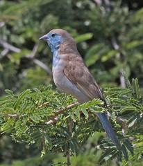 NaBo11_d60_2836a (jerryoldenettel) Tags: bird namibia cordonbleu passeriformes 2011 waxbill passerine bluewaxbill estrildidae uraeginthusangolensis bluebreastedcordonbleu uraeginthus estrildidfinch