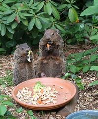 [フリー画像] 動物, 哺乳類, グラウンドホッグ, 家族・親子(動物), 201105281100