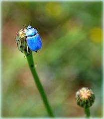 Hoplie bleue - Vaison-la-Romaine (Vaucluse) (Charlottess) Tags: provence vaucluse scarabée hoplie