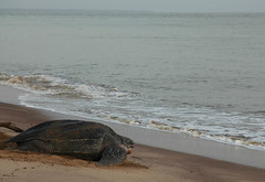 Dawn return (668 neighbour of the beast) Tags: sea wild beach southamerica nature animal marine turtle reptile wildlife tropical nesting vertebrate egglaying frenchguiana guiane guianas neotropics