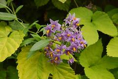 Solanum crispum 'Glasnevin' (Solanaceae)