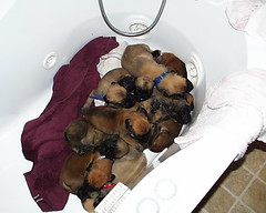 Mastiff Puppies in a Tub (Born 2/4/07) (muslovedogs) Tags: dogs puppy mastiff excalibur myladyoffspring