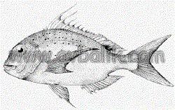 2055436600 1d8e5df655 mercan balığı nasıl avlanır