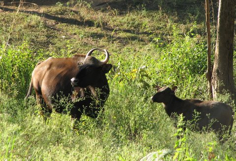 gaur and calf b r hills 030108
