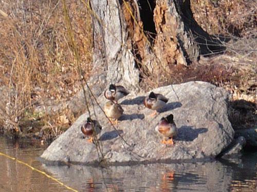 ducks_centralpark