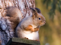 Funny boy (Tomi Tapio) Tags: winter silly cute face pose fur helsinki squirrel funny iso400 lol lips wintercoat orava muzzle sciurusvulgaris tightcrop sqrl eartufts canonef85mmf18usm eurasianredsquirrel kurre