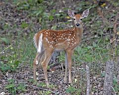 White-tail Deer Fawn - NW Montana (Dave Stiles) Tags: montana wildlife deer fawn whitetaileddeer stiles nwmontana northwestmontana naturewatcher
