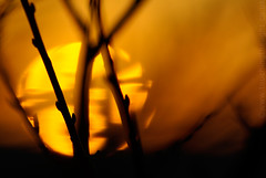 """2008_366047 - Buds on Sundown • <a style=""""font-size:0.8em;"""" href=""""http://www.flickr.com/photos/84668659@N00/2268946177/"""" target=""""_blank"""">View on Flickr</a>"""